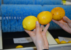 Sorted lemons at the stand of Reemoon Sorting Technology. The machines sorts based on external damages. // 绿萌分选设备有限公司的展位前被分选的柠檬。这些机器是根据外部损坏进行分类的。