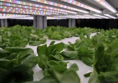 Lettuce cultivated with the hydroponic system // 水培生菜
